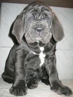 Big dogs are the best. Even when they're not so big puppies Puppy Pictures, Animal Pictures, Cute Puppies, Cute Dogs, Wrinkly Dog, Baby Animals, Cute Animals, Unique Animals, Mastiff Puppies