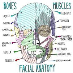 The Larynx – Blood and Nerve Provide – free medical books Med Student, Nursing School Notes, Ob Nursing, Nursing Schools, Medical School, Funny Nursing, Anatomy Bones, Skull Anatomy, Grey's Anatomy