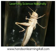 Great pics and great information for a lesson on GRASSHOPPERS! Hands On Learning, Home Learning, Grasshoppers, Nature Study, Story Time, Insects, Homeschool, Science, Natural History