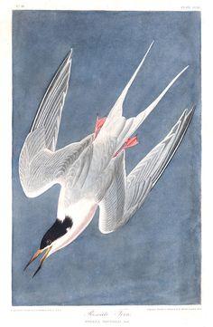 BOOK PAGE BIRDS AMERICA AUDUBON ARCTIC TERN Painting Canvas art Prints