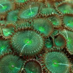 Macro of GREEN ZOANTHID Cluster - ©swee-cheng