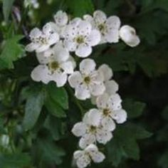 Hawthorn Flowers - some traditions celebrate Beltane when the Hawthorn bush blooms May Birth Flowers, May Flowers, White Flowers, Beautiful Flowers, Flower Of May, Dogwood Flowers, Beltane, Hawthorne Flower, Hawthorne Tree