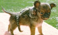 Have you heard of finger monkeys? If no, then you can get cost, life span, diet and facts regarding finger monkey. Finger monkeys can also be good pets. Cute Baby Animals, Animals And Pets, Funny Animals, Unusual Animals, Animals Beautiful, Animal Hugs, Unlikely Friends, Love Dogs, Tier Fotos