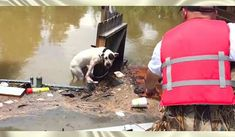 Hero Spots Exhausted Pit Bull Who's Been Stranded In Floodwaters For 16 Hours - Planet of Goodness
