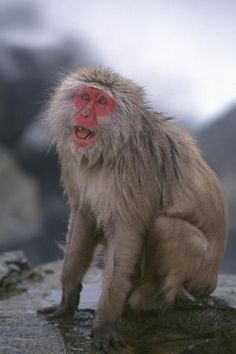 size: Photographic Print: Japanese Macaque on Rock by DLILLC : Japanese Monkey, Japanese Macaque, Unusual Animals, Funny Pictures, Funny Pics, Find Art, Framed Artwork, Rock, Monkeys
