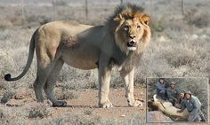 Fugitive South African lion offered death sentence reprieve