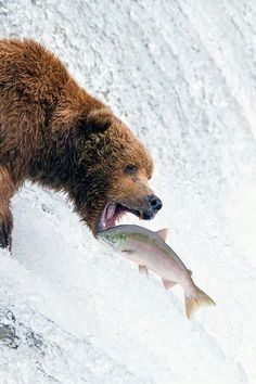 Grizzly bear in Alaska catching trout