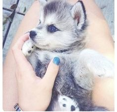 Gorgeous Husky puppy