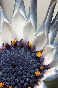 Osteospermum flower - by Brian Valentine