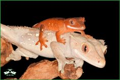 Rhacodactylus ciliatus, crested gecko  Cherry Pie and one of his offspring.