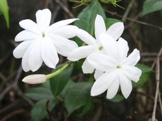 Aryan Exports offers Jasmine Absolute 100% Pure, Best Therapeutic Grade Jasmine Essential Oil from India. They carry a wide range of Therapeutic essential oils.