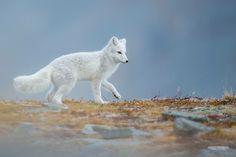 Arctic Fox by Arnfinn Malmedal on 500px