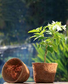 Plant in coco pot