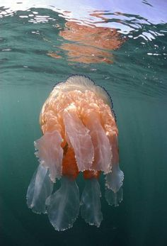 THOUSANDS OF GIANT JELLYFISH APPEAR IN SWARMS OFF BRITAIN'S COAST