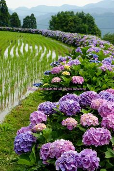 Hydrangea Road It S Like Heaven Garden Hydrangea Hortensia Hydrangea, Hydrangea Garden, Hydrangea Flower, Amazing Flowers, Purple Flowers, Beautiful Flowers, Dream Garden, Garden Inspiration, Beautiful Gardens
