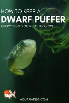 How to keep a dwarf puffer fishYou can find Freshwater aquarium and more on our website.How to keep a dwarf puffer fish Betta Aquarium, Saltwater Aquarium Fish, Betta Fish Tank, Nature Aquarium, Planted Aquarium, Fish Aquariums, Aquarium Ideas, Aquarium Stand, Tropical Fish Aquarium