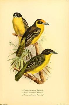 atlas - Die Vögel Afrikas, - Biodiversity Heritage Library