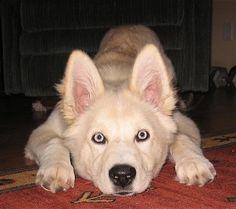 Miya, the Goberian (Golden Retriever / Siberian Husky mix) at 4 months old
