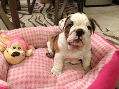 ❤ I'm a PINK girl. I expect there will be some pink ruffles in my future, too! ❤ Posted on I love English Bulldogs