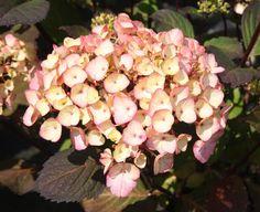 HYDRANGEA serrata 'Preziosa' Hydrangea Serrata, Hydrangeas, Fruit, Rose, Garden, Flowers, Plants, Pink, Limelight Hydrangea