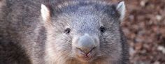 Otto, a Tasmanian wombat, at the Albuquerque BioPark Zoo, in Albuquerque, N.M., on Thursday, Dec. 9, 2010. (AP Photo/Susan Montoya Bryan)