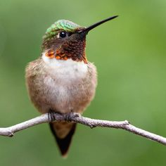 there's no doubt in my mind this is the hummingbird that lives with my friend Pocahontas.
