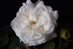 White rose Elegant Flowers, Flower Photos, White Roses, Black Backgrounds, Close Up, Flower Bouquets, Macros, Plants, Beauty