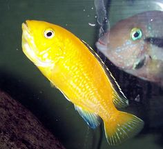electric yellow cichlid - Google Search