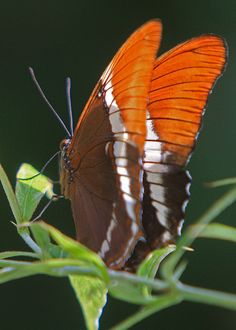 this butterfly is an autumn