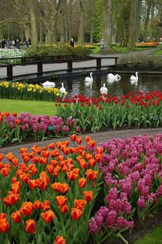 Swans and tulips in Keukenhof Park, the world's largest flower garden situated near Lisse, The Netherlands (by Karl Gercens) Beautiful World, Beautiful Gardens, Beautiful Places, Beautiful Pictures, Keukenhof Holanda, Spring Garden, Easter Garden, Tulips Garden, Parcs