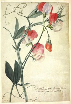 Lathyrus siculus flore Ehret, Georg Dionysius; draughtsman; German artist, 1708-1770