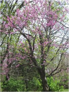 How to Grow and Propagate Redbud Trees Transplanting Plants, Plant Propagation, Green Garden, Garden Fun, Garden Tips, Landscape Design, Garden Design, Tree Information, Redbud Trees