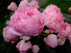 Peony | by yewchan