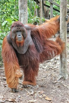 Tom, the alpha male orangutan at Camp Leakey, Tanjung Puting National Park. Let's come and get to know him more with us!
