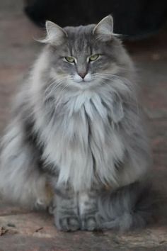 Maine Coon Cat Gallery - Cat's Nine Lives I Love Cats, Crazy Cats, Cute Cats, Maine Coon Kittens, Cats And Kittens, Cats Meowing, Weimaraner, Pretty Cats, Beautiful Cats