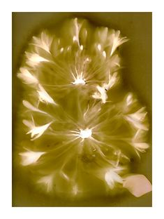 Lumen Print - Agapanthus bloom on expired Ilford Multigrade black and white photographic paper