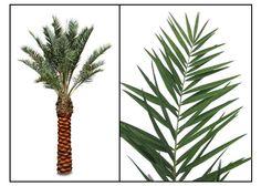 Date palm, Phoenix dactylifera Linn., DATE, Hai zao: Philippine Medicinal Herbs / Alternative Medicine