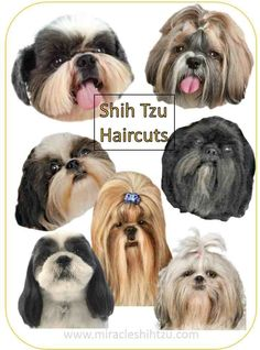 Shih Tzu Haircuts:  Hair style options from head to tail to help you decide what cut is best for your Tzu.