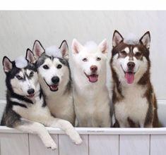 Beautiful Siberian Huskies taking a bath