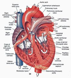 Heart anatomy - Frontal section