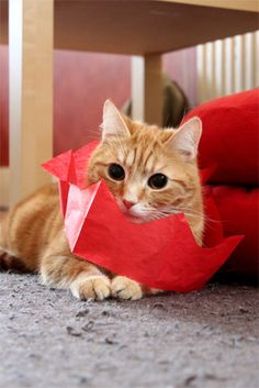 Sweet Valentines Cat