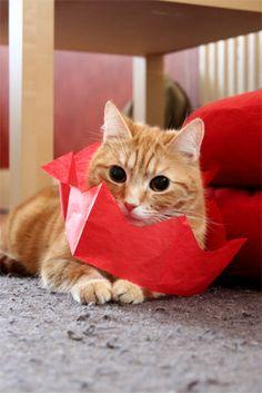 Sweet Valentines Cat