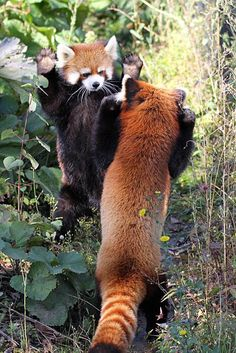 Funny Animal Pictures, Cute Funny Animals, Cute Baby Animals, Animals And Pets, Cute Dogs, Panda Puppy, Red Panda Cute, Otters Cute, Cute Creatures