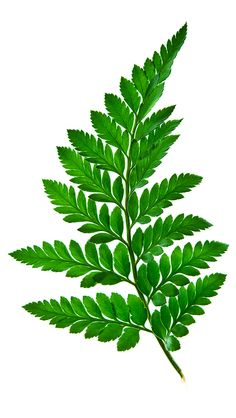 Green fern leaf isolated on a white background – banque photo libre de droits Fern Tattoo, Plant Tattoo, Tattoo Arm, Theme Nature, Deco Nature, Leave In, Arte Floral, Botanical Illustration, Botanical Prints