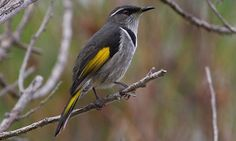 The Crescent Honeyeater is a medium to small honeyeater with a long down-curved bill and a red-brown eye. Males are dark grey above with yellow wing Australian Flowers, Australian Birds, Birds 2, Beautiful Birds, Dark Grey, Animals, Image, Nice Things, Google Search