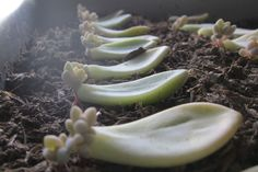Succulents… Propagating Succulents via Needles + Leaves. Learn how to propagate succulents from leaves and cuttings.
