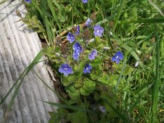 Speedwell - I love blue flowers