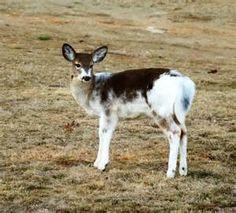 Piebald Deer!
