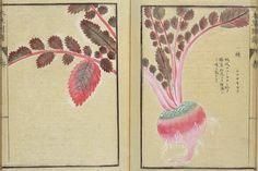 """На сайте музея токийского университета лежит травник эпохи Эдо """"Honzo-Zufu""""; более 700 потрясающих иллюстраций японских трав и растений авторства Kanen Iwasaki. Сходите…"""