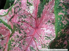 Dramaticall patterned leaf of Pink Beauty Caladium